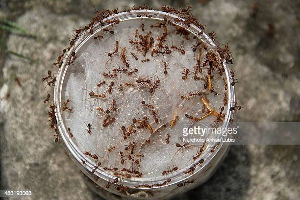 Ants enter a jar which is used for breeding on April 5 2014 in Bogor Indonesia Breeders can produce 300 pounds of eggs and hundreds of thousands of...
