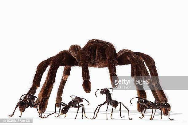 Ants (Eciton quadrigtume) facing Tarantula (Digital Composite)