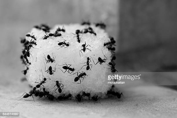 Ants feeding on sugar cube