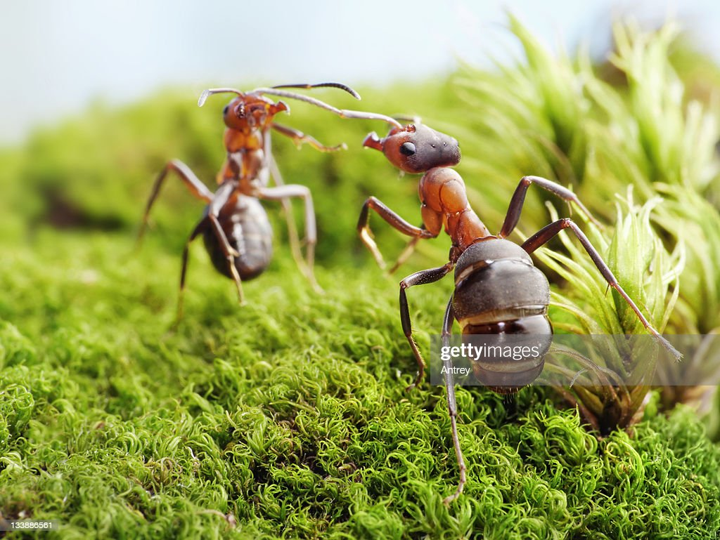 ants formica rufa, conflict : Stock Photo