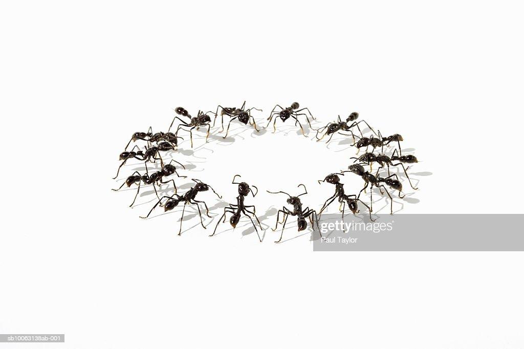Ants (Eciton quadrigtume) in circle on white background : Stock Photo