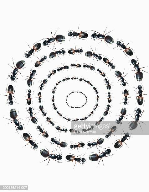 Ants in concentric circles, overhead view