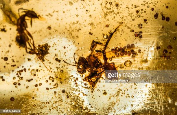 Ants in copal can be seen in the collection of the Senckenberg Society for Nature Research in Frankfurt/Main Germany 2 September 2016 Insects are...
