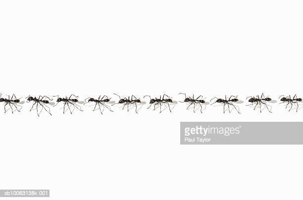 Ants (Eciton quadrigtume) in line (Digital Composite)