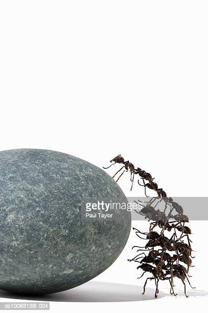 Ants (Eciton quadrigtume) in stack, climbing rock, side view
