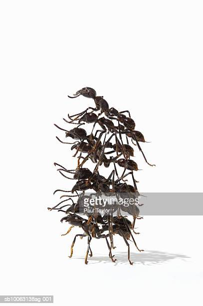 Ants (Eciton quadrigtume) in stack on white background, side view (Digital Composite)