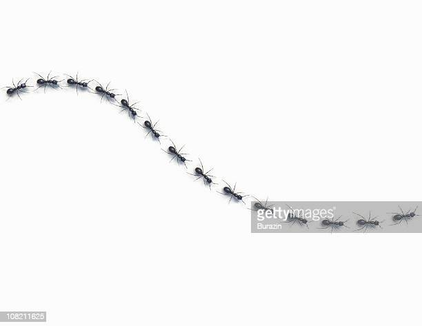Ants marching in a line