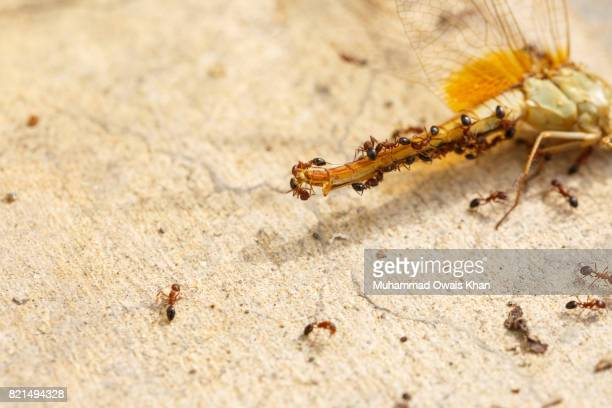 Ants On A Dragonfly