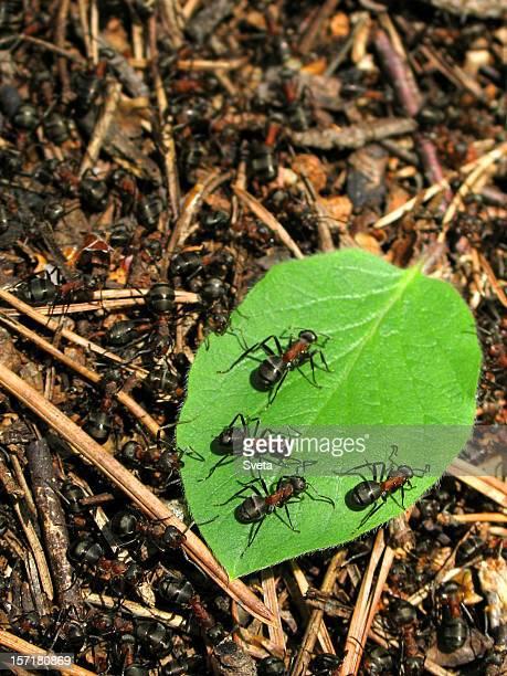 Ants on a leaf 2