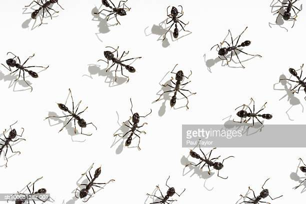 Ants (Eciton quadrigtume) on white background, overhead view
