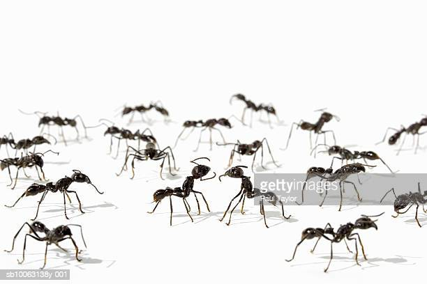 Ants (Eciton quadrigtume) on white background