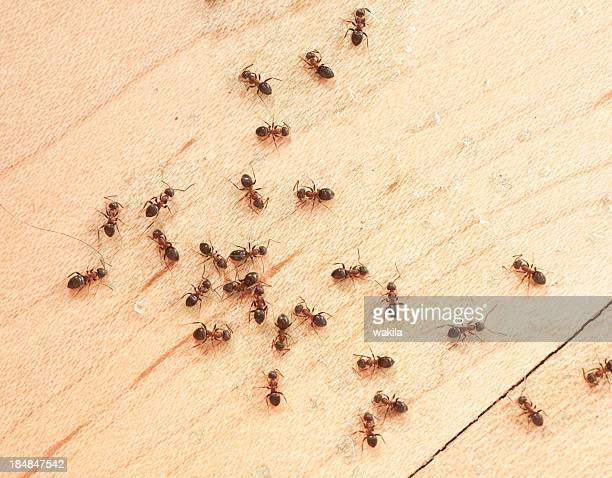 ants on wodden floor top view mit ameisengift - ants stock pictures, royalty-free photos & images