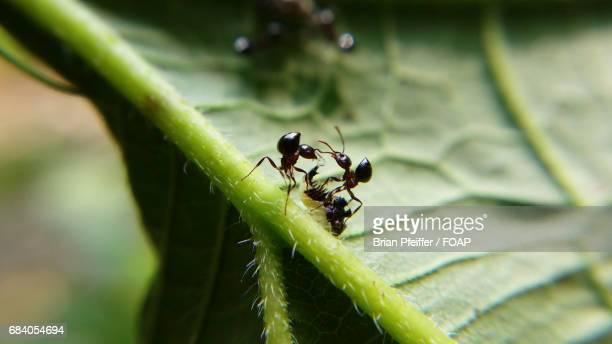 Ants sharing a drop of honeydew