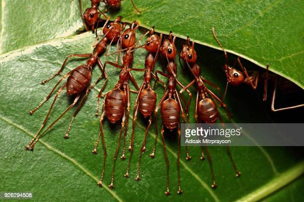 Ants stretching legs and biting leaf in harmony.