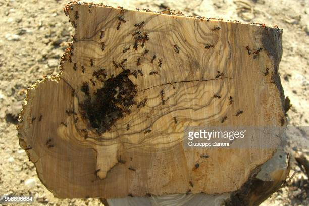 Ants with anthill
