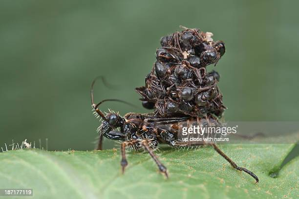 ant-snatching assassin bug nymph - kissing bug stock photos and pictures