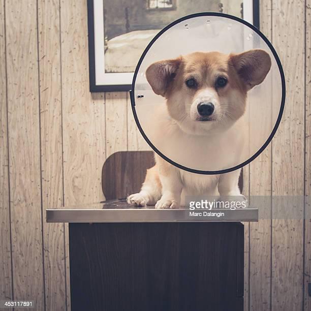 Anxious corgi dog in a cone visit the veterinarian
