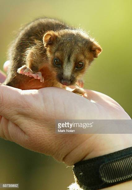 """Anzac,"""" a baby Ring Tail Possum, is one of the marsupials on show during the spring baby boom at Taronga Zoo September 1, 2005 in Sydney, Australia...."""