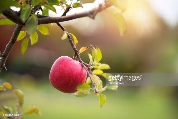 aomori apple close up image. - aomori prefecture stock pictures, royalty-free photos & images