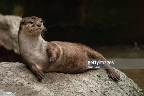 aonyx cinereus (asian small-clawed otter, oriental small-clawed otter, small-clawed otter) - lontra imagens e fotografias de stock