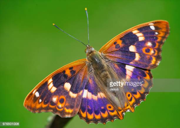 apatura ilia – lesser purple emperor butterfly - emperor stock pictures, royalty-free photos & images