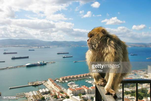 ape of gibraltar - gibraltar stock pictures, royalty-free photos & images