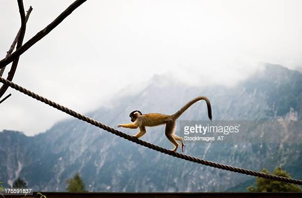Menschenaffe auf einem Seil
