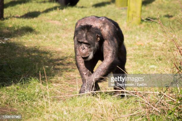 ape on field - chester zoo stock pictures, royalty-free photos & images