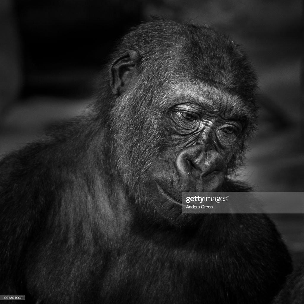 Ape Stock Photo