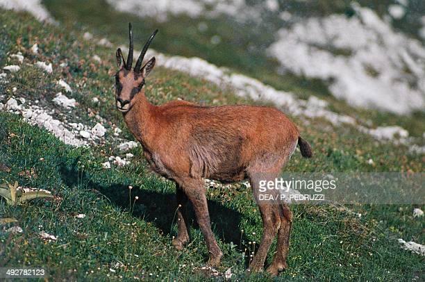 Apennine chamois Bovidae Abruzzo National Park Abruzzo Italy