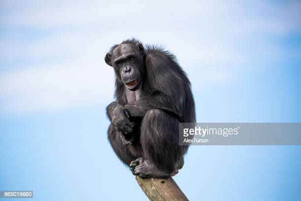 apes - monkeys stock photos and pictures