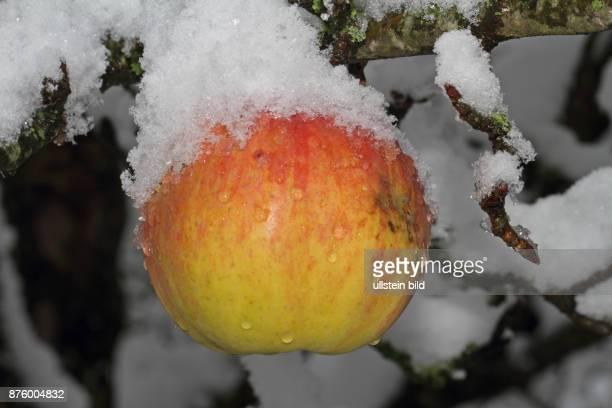 Apfel schneebedeckt an Ast haengend