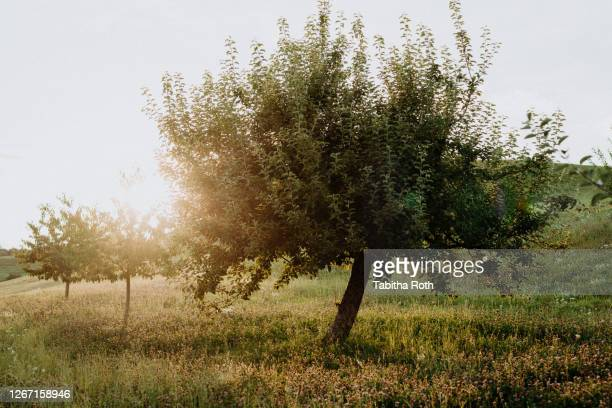 apfelbaum im gegenlicht sonnenuntergang - apple tree stock pictures, royalty-free photos & images