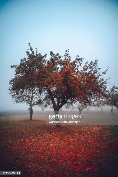 apfelbaum im nebelfeld - apple tree stock pictures, royalty-free photos & images