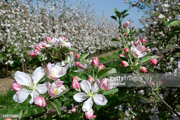 Apfelbluete in Jork im Alten Land blühende Apfelbäume Obstanbau