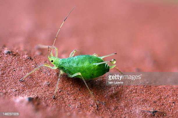 aphid - aphid stock pictures, royalty-free photos & images