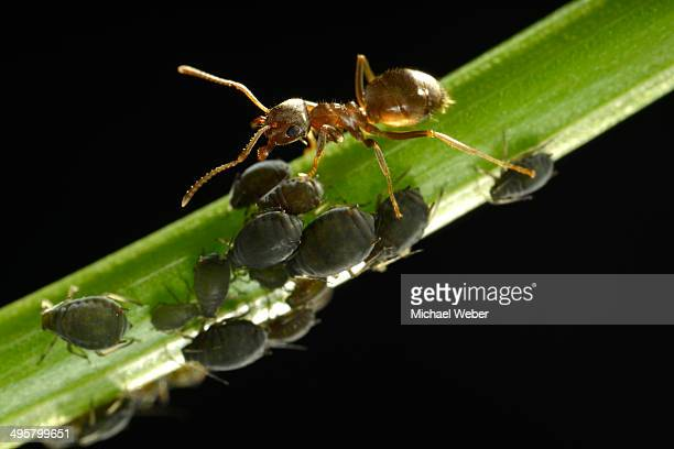 aphids -aphidoidea- being milked by an ant -formidicae-, beneficial insects and pests, macro shot, baden-wurttemberg, germany - aphid stock pictures, royalty-free photos & images