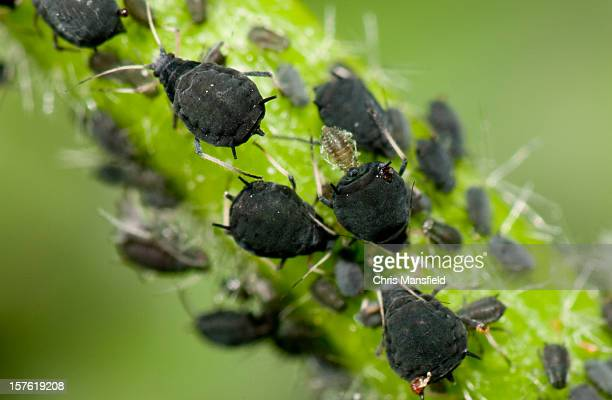 aphids - pest stock photos and pictures