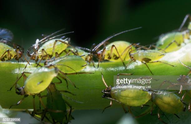 aphids - aphid stock pictures, royalty-free photos & images