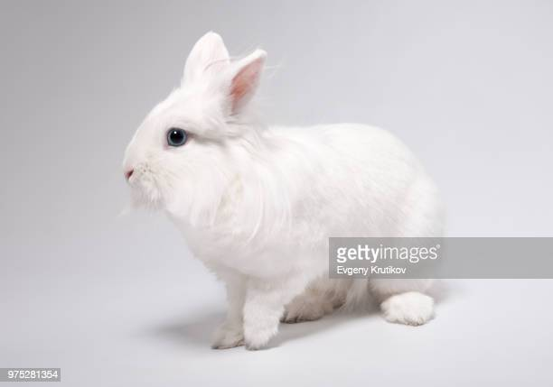 aphrodite - white rabbit stock pictures, royalty-free photos & images
