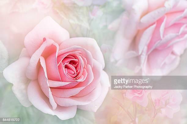 aphrodite soft pink rose - venus roman goddess stock pictures, royalty-free photos & images
