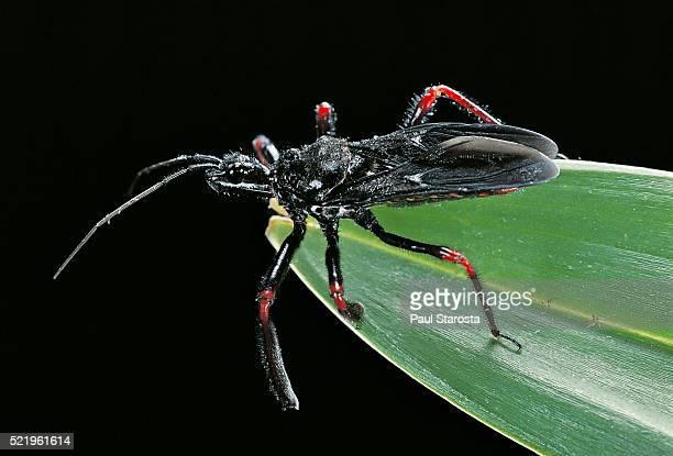 apiomerus geniculatus (assassin bug) - assassin bug stock pictures, royalty-free photos & images