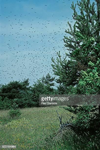 Apis mellifera (honey bee) - bee swam flying