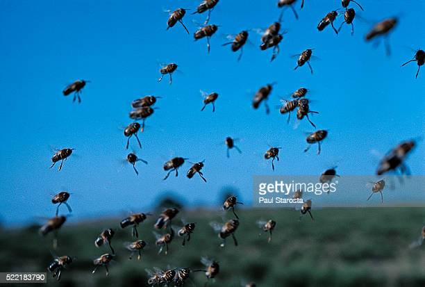Apis mellifera (honey bee) - drone swarm flying at a mating site