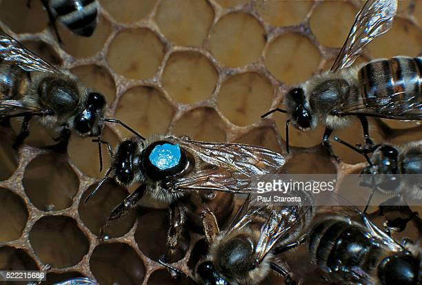 Apis mellifera (honey bee) - marked queen laying an egg in a cell