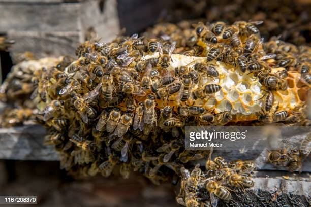 Apis Mellifera or Iberian black bee the native species of the area on August 10 2019 in Girona Spain Climate change and extensive agriculture is...