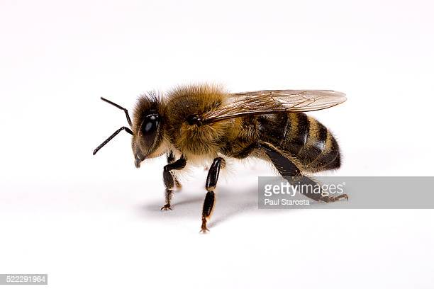 Apis mellifera (honey bee)