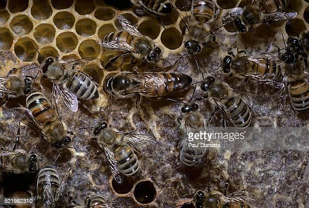 apis mellifera (honey bee) - queen examining a cell before laying an egg - ape regina foto e immagini stock