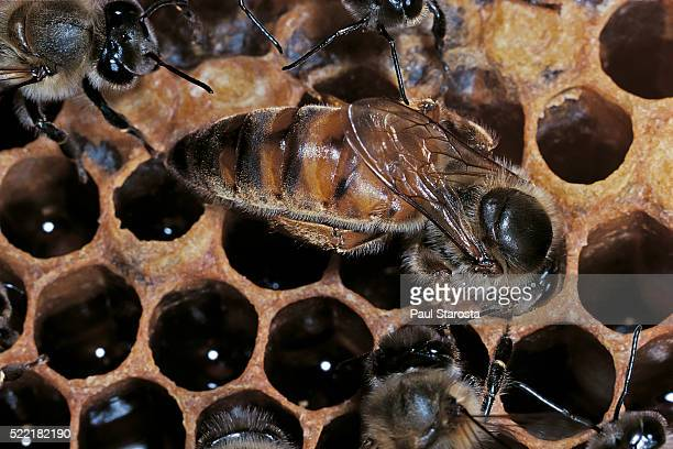 Apis mellifera (honey bee) - queen examining a cell before laying an egg