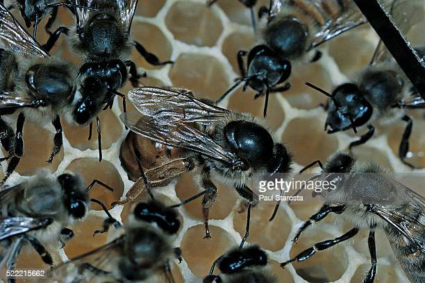 Apis mellifera (honey bee) - queen laying an egg in a cell